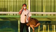 Tổng thống Brazil bị đà điểu mổ khi đang cách ly do nhiễm COVID-19, nhiều người 'hả hê'