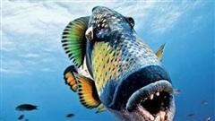 Loài cá tai tiếng nhất đại dương: Đã xấu phát hờn còn nổi tiếng 'trẻ trâu', gây sự cả với con người