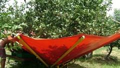 Cảnh nông dân nước ngoài thu hoạch 'cơn mưa' cherry trên cây chỉ trong chớp mắt, sang đến Việt Nam được ăn 1 trái cũng khó