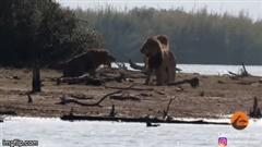 """Sư tử bị đánh hội đồng, hà mã lững thững vào """"giải nguy"""""""