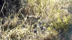 Vừa bị sư tử tấn công xong, linh cẩu lại bị đồng loại mò đến để ăn thịt