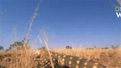 Kỳ đà khổng lồ truy sát loài rắn độc thứ 2 trên thế giới