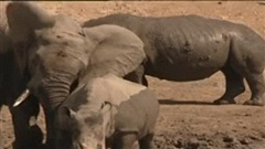 Khoảng khắc tan chảy trong thế giới tự nhiên: Voi ôm tê giác