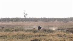 Liều mạng tấn công cả đàn sư tử, trâu rừng bị đánh phải bỏ chạy trối chết