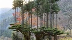 Kinh ngạc kỹ thuật lấy gỗ có một không hai của người Nhật