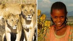 Bị bọn bắt cóc đánh đập và ép kết hôn, bé gái được đàn sư tử cứu sống rồi bảo vệ nửa ngày, câu chuyện khó tin gây ra nhiều nghi ngờ