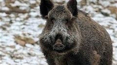 Đức: Lợn rừng bất ngờ xuất hiện 'tàn phá' bãi biển công cộng