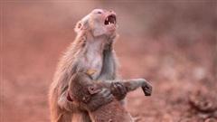 Khỉ mẹ ôm con đã chết trong tay gào thét thảm thiết khiến ai cũng rơi lệ nhưng câu chuyện phía sau lại hoàn toàn khác