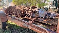 Cá sấu khổng lồ dài 4,4 m, nặng 350 kg bị tóm gọn