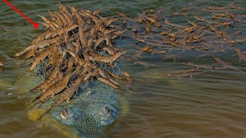 Khoảnh khắc cõng con trên lưng đầy dịu dàng của cá sấu khiến ai cũng thốt lên: 'Bố là tất cả' và đây không phải là 'ông bố của năm' duy nhất