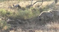 Cậy đông tới cướp mồi của đàn báo săn, hai con linh cẩu nhận cái kết bẽ bàng