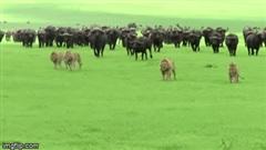 """""""Chúa tể vùng đồng cỏ"""" bỏ chạy khi bị cả trăm con trâu rừng hung hãn truy đuổi"""