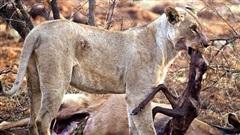 Sư tử giết chết linh dương, lôi cả thai nhi trong bụng con vật ra nhưng việc làm của nó sau đó với 2 mẹ con khiến ai cũng động lòng