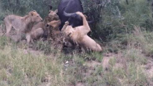 Ngày đầu tiên đi săn, bầy sư tử đã gặp 'ca khó': 'Bóng đen' lao đến có cứu được trâu rừng?