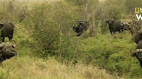 Sư tử chạy tán loạn trước cuộc báo thù kinh hoàng của đàn trâu rừng