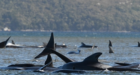 Hàng trăm con cá voi mắc cạn đến chết ngoài khơi Australia