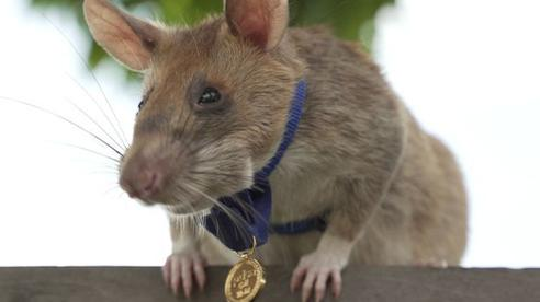 Một con chuột được Anh trao huy chương dũng cảm vì dò mìn giỏi ở Campuchia