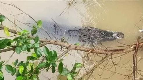 Người dân miền Tây bắt được cá sấu đang 'dạo chơi' trên sông