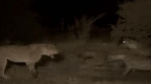 Kịch chiến trong đêm giữa sư tử cái và kẻ thù số 1 của nó: Cán cân sức mạnh nghiêng về bên nào?