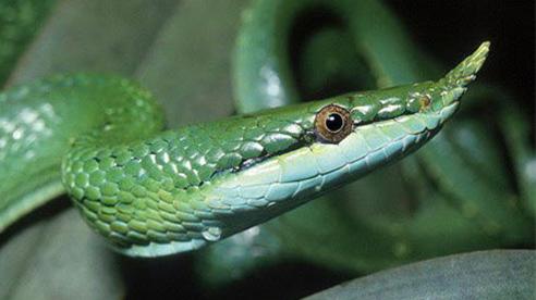 Cận cảnh loài rắn có sừng kỳ bí của Việt Nam
