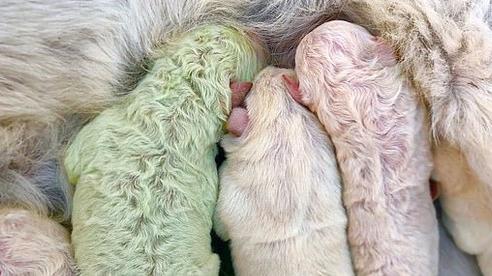 Chó mẹ sinh 5 cún con bỗng tòi ra một bé màu xanh lè như người khổng lồ Hulk khiến bác nông dân phải há hốc mồm kinh ngạc