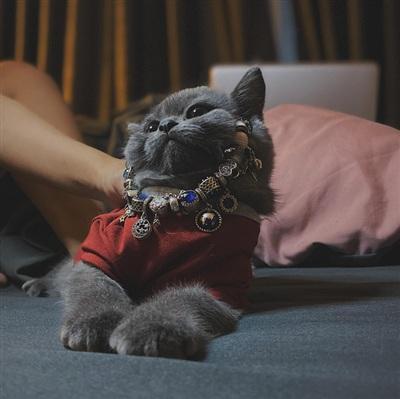 Bí là giống mèo Anh lông ngắn.