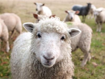 Một chú cừu thích thú trước máy ảnh.