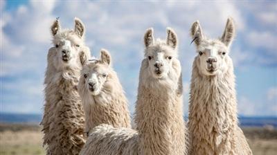 Lạc đà Llama.