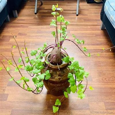 Và cuối cùng là một chậu bonsai khoai lang với hình thù đẹp mắt.
