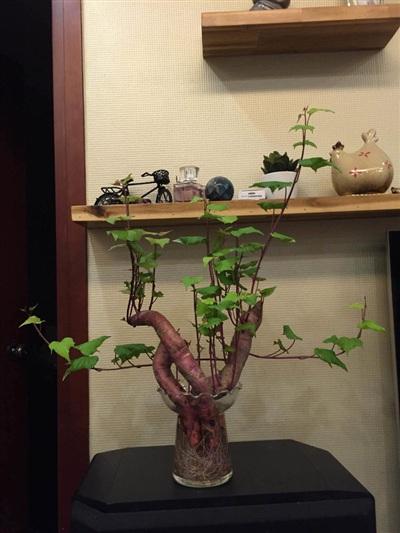 Một chậu bonsai khoai lang khác cũng từng khiến dân mạng thích thú.