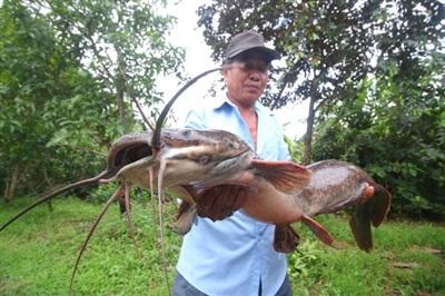 Cận cảnh con cá trê dài hơn 1 mét ở Hậu Giang - Ảnh: TPO
