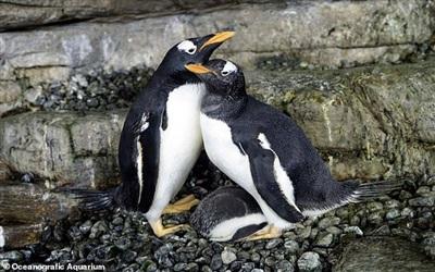 Cặp cánh cụt lesbian nhà bên