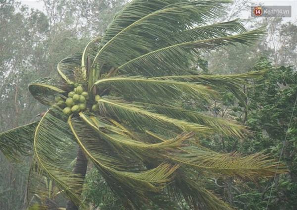 Cây dừa cũng bị gió quật nghiêng ngả (Ảnh: Hà Nam)