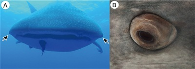 Mắt của cá mập voi