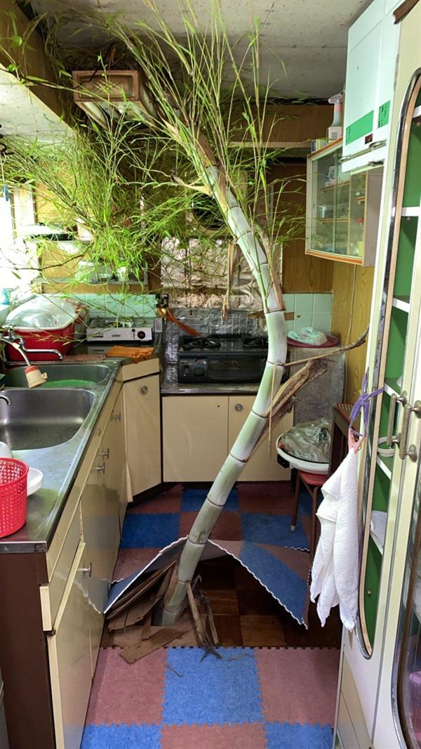 Câu tre mọc ngay trong gian bếp của căn nhà một người đàn ông ở Nhật Bản.
