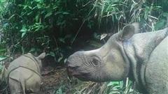 Phát hiện hai tê giác Java non quý hiếm tại Indonesia