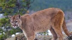 Cô gái bị báo sư tử cắn chết trong lúc dẫn chó đi dạo