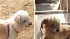 Chú chó trung thành đi bộ 60 km trong 26 ngày về nhà sau khi bị chủ bỏ quên