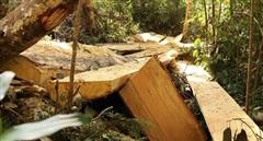 Chỉ đạo khẩn làm rõ vụ phá rừng bạch tùng
