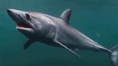 Cuộc chiến bảo vệ cá mập mako vây ngắn Bắc Đại Tây Dương: EU và Mỹ 'phá hỏng cơ hội vàng'