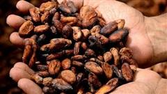 Cacao có lợi cho hoạt động trí óc