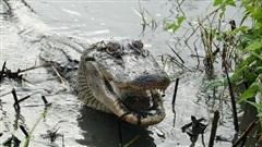 Cá sấu có thể mọc lại đuôi