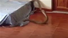 Kinh hãi rắn hổ mang chúa dài 3m vùng vẫy trong phòng ngủ
