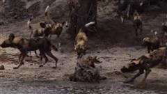 'Thân cô thế cô', linh cẩu bị đàn chó hoang kéo tới tấn công, bỏ chạy trối chết