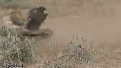 Vừa săn mồi thành công, hai con sư tử bị đàn trâu rừng quây đánh tơi tả, bỏ chạy trối chết