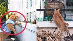 Mèo ú bị bóc phốt chuyên nghển cổ hóng hớt, đã thế còn lân la gạ gẫm cô mèo nhà hàng xóm đi 'nhún nhảy'