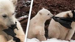 Gấu Bắc Cực đói ăn giành nhau túi nhựa bẩn