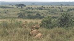 Sư tử đực bị cả đàn sư tử cái lao đến tấn công dữ dội, nó đã làm gì nên tội?