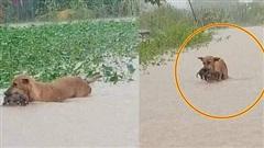 Rơi nước mắt hình ảnh chó mẹ tha con giữa dòng lũ, hàng loạt động vật rưng rưng như kêu cứu, dân mạng xót xa: 'Người cứu còn không xuể, biết làm sao đây?'