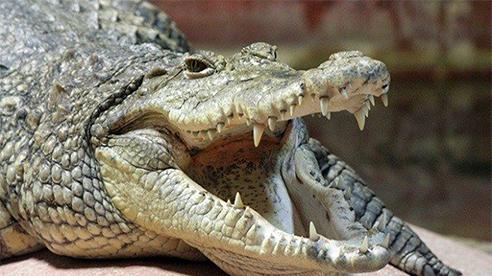 Chó có hành động cực lạ sau khi cắn nhau với… cá sấu